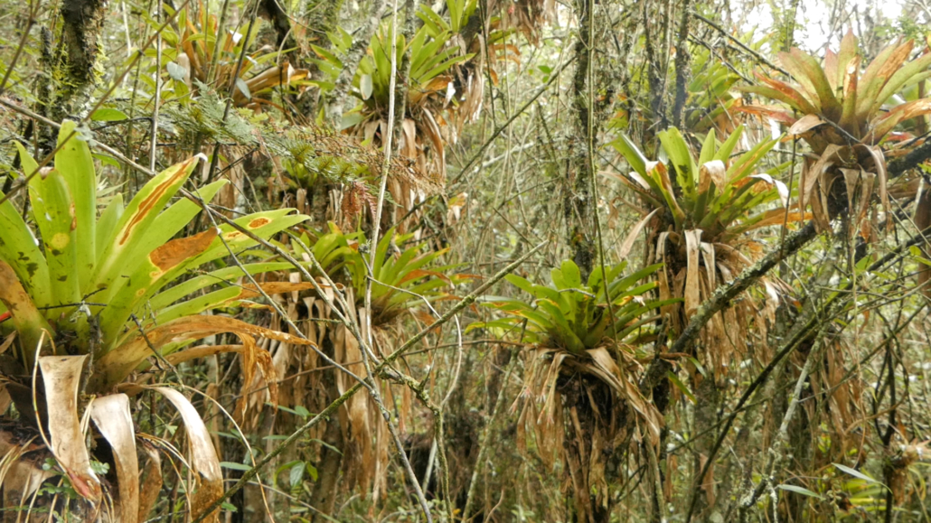 Lower Cajas Orchids