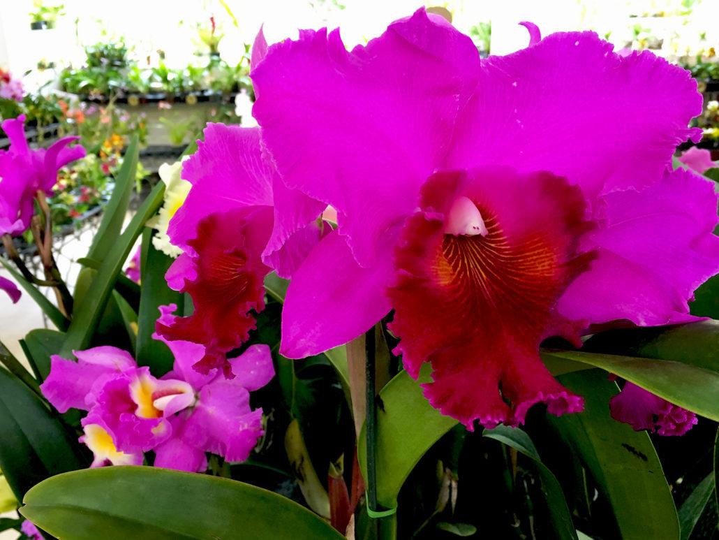 Orchid Gualaceo Ecuador