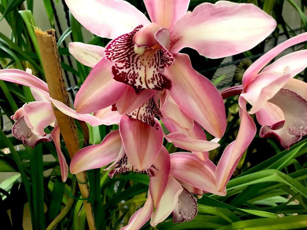 Orchid Gualaceo Ecuador 2