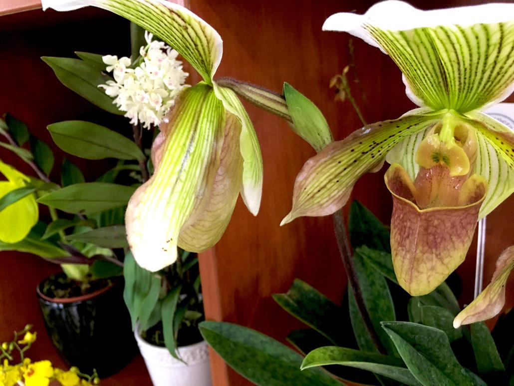 Orchid Gualaceo Ecuador 3