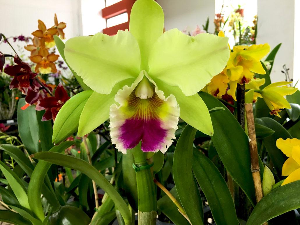 Orchid Gualaceo Ecuador 4