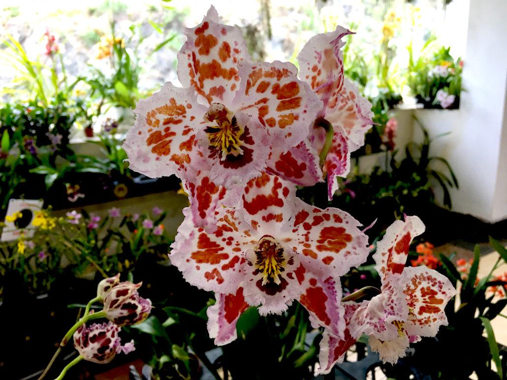 Orchid Gualaceo Ecuador 5