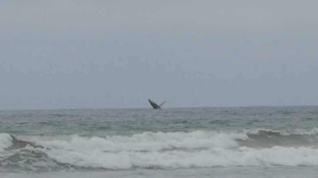 5 Olón and Montañita Ecuador Whale Breaching