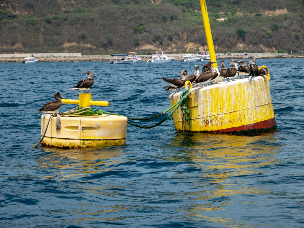 7 Puerto Lopez Whale Watching Blue Footed Boobies