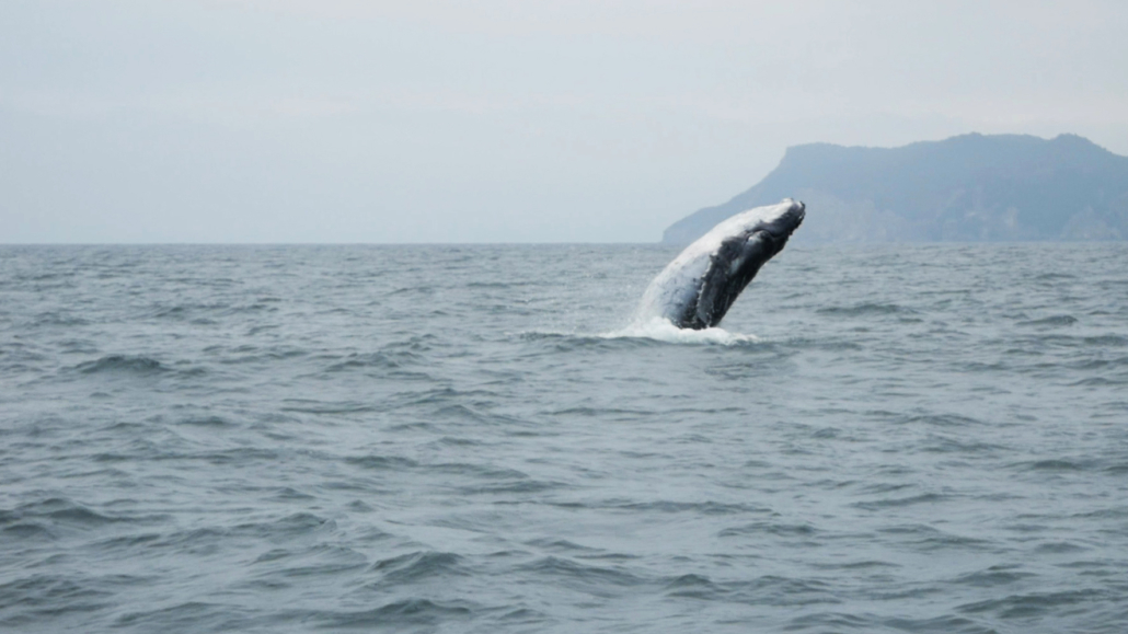 8 Puerto Lopez Whale Watching Whale Breaching