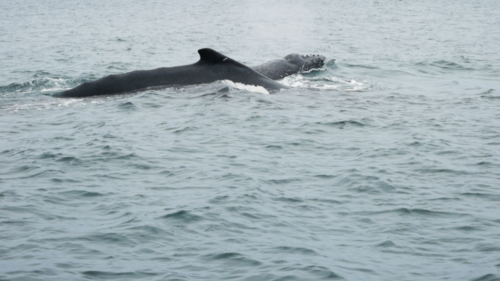8.2 Puerto Lopez Whale Watching Whales