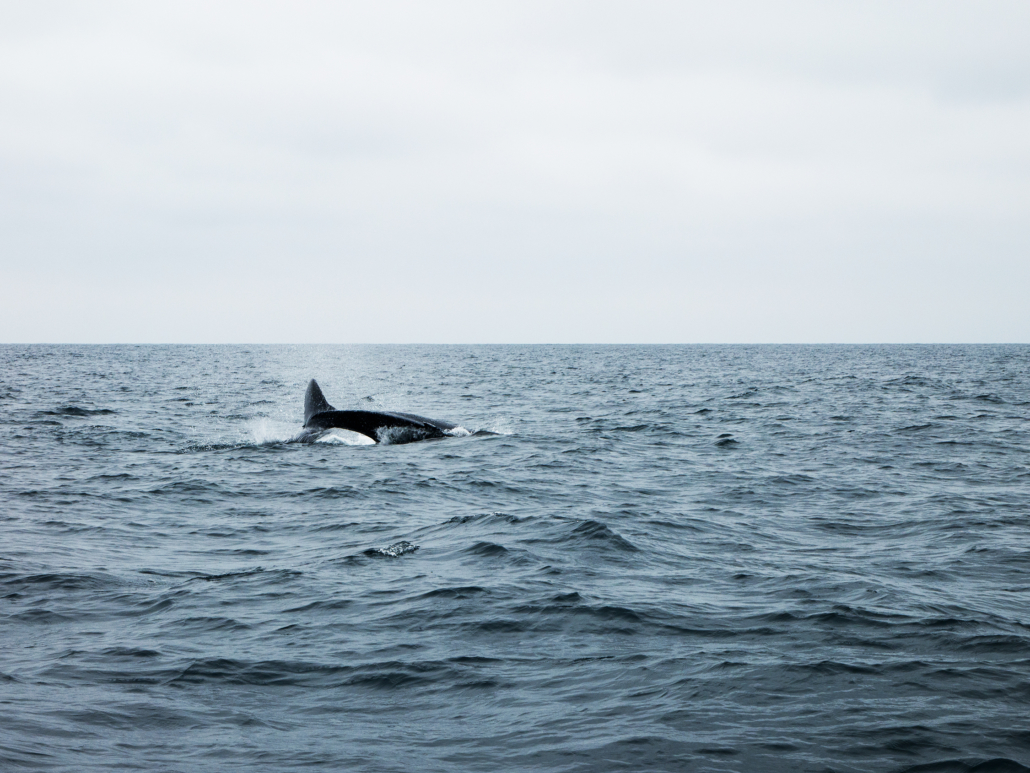8.3 Puerto Lopez Whale Watching Whale Breaching
