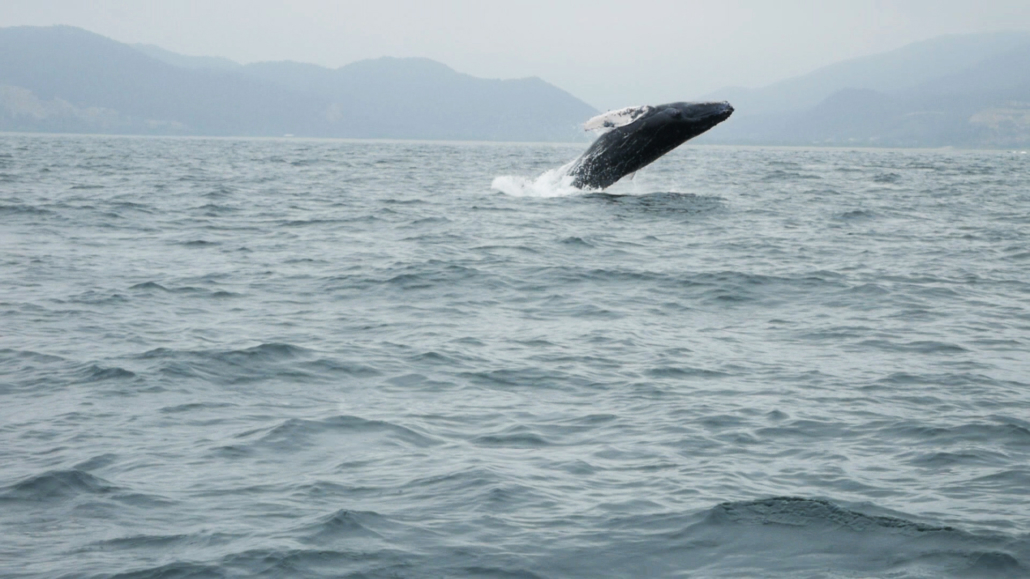 8.4 Puerto Lopez Whale Watching Whale Breaching