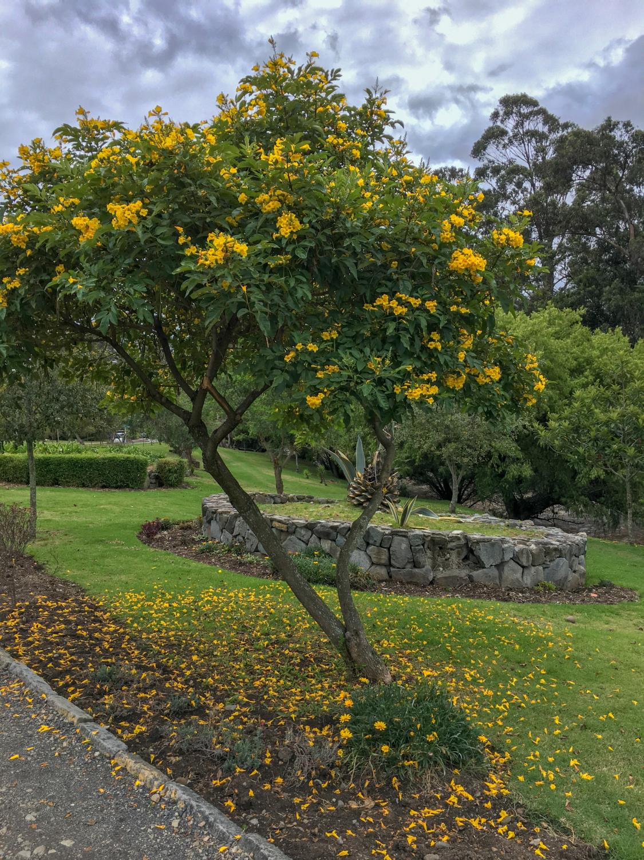 Cuenca Ecuador River Walk Yellow Tree