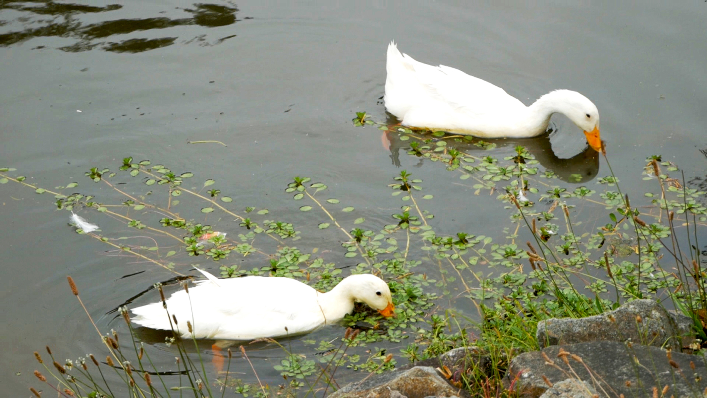 Parque Paraíso Cuenca Ecuador Ducks
