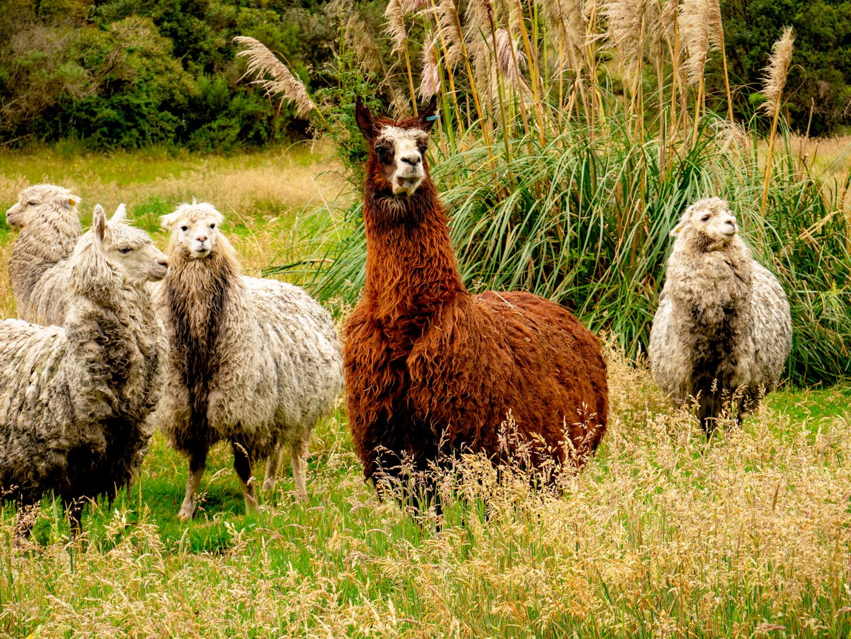 Lower Cajas Llamas