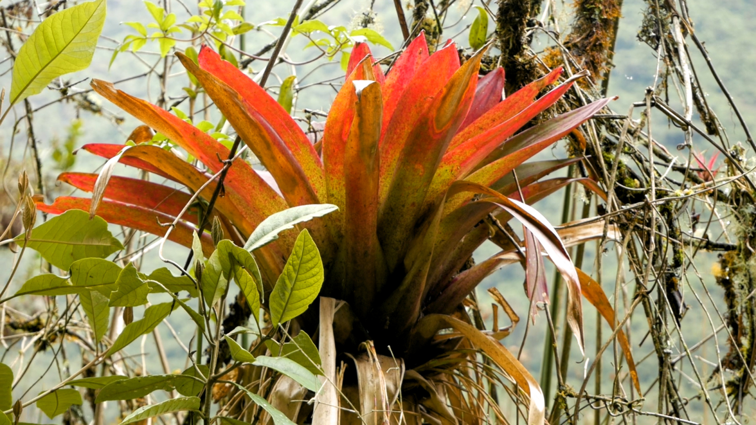 Lower Cajas Orchid
