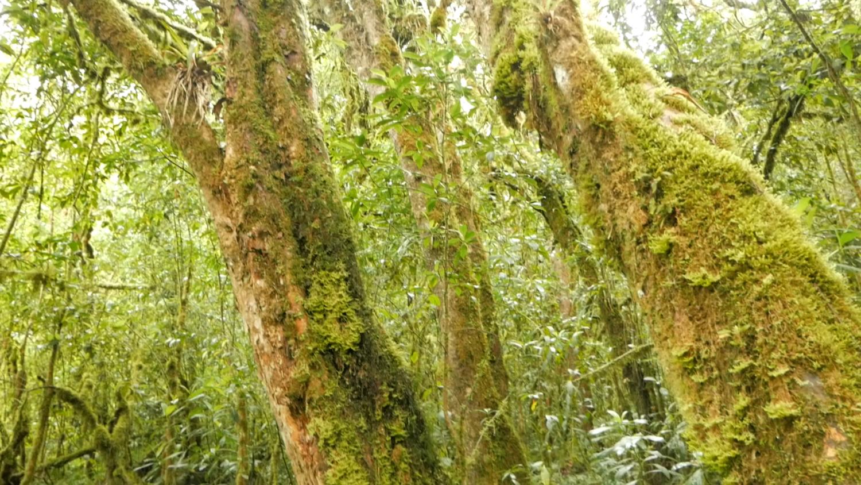 Lower Cajas Polylepis Tree