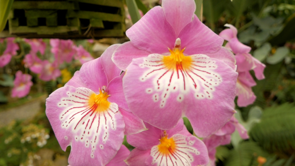 Ecuagenera Pink Orchid