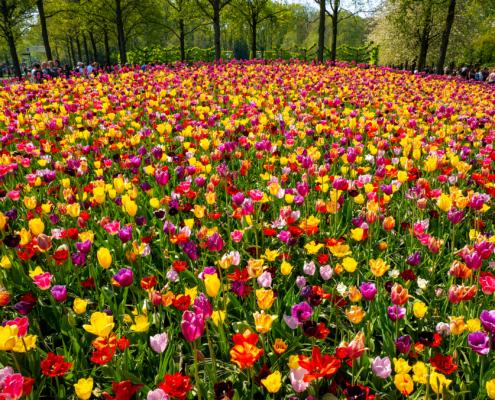 Keukenhof Tulip Garden 2019 23