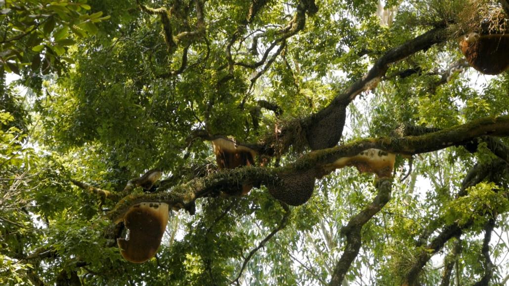 Jungle Honey Bee Tree Munnar India