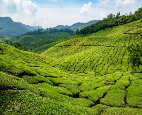 Munnar India 9 Tea Plantation
