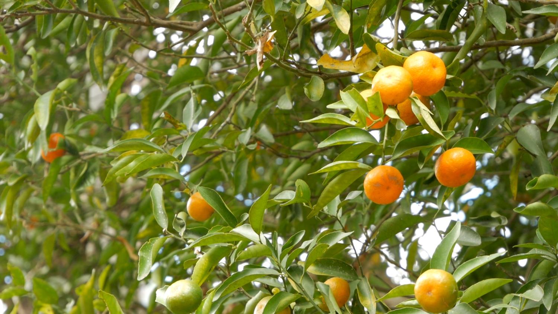 Vilcabamba Ecuador Natural Beauty Fruit Trees